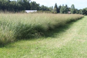 """Switchgrass growing at Meach Cove Farm in Shelburne, Vermont."" Vermont Bioenergy Initiative."