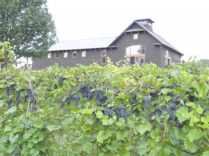 Shelburne Vineyard and Marquette grapes as harvest approaches.
