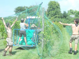 Dispensing the netting to protect ripening grapes from Birds