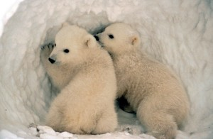 Polar bear cubs - all photos from the US Fish and Wildlife Service