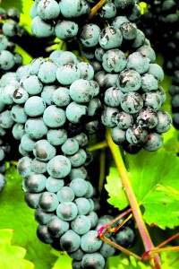 Ripe grapes, ready for harvest