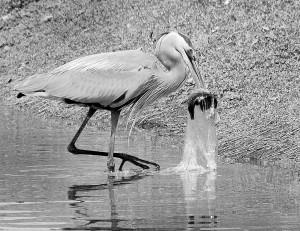 Heron eats fish in plastic bag. Photo: greencaucus.org