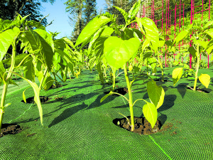 Peppers thriving without competition from weeds.