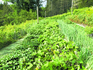 Sweet potatoes growing beautifully in mid-summer. Courtesy photos.