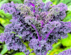Purple Kale. Photo courtesy of West Coast Seeds