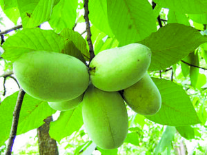 Pawpaws fruits. Courtesy photo