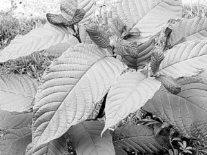 Kratom Tree Wikimedia Commons