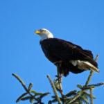 Bald eagle. Photo: Flickr