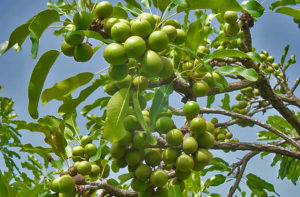 Shea Tree with fruit. Google Images.