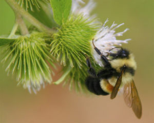 Rusty patched bumblebee. Photo: Flickr