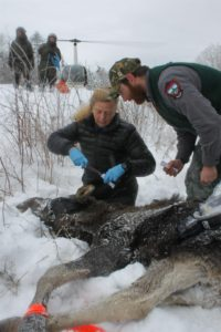 Tagging a moose for study. Photo Credit: Lisa Bates, Maine Dept. of Inland Fisheries & Wildlife