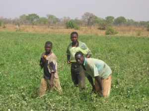 Young men standing in a field of green tomatoes in Africa. Photos: Larry Plesent