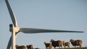 Sheep graze beneath wind turbines. Photo: Creative Commons
