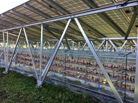 Mushrooms growing under solar panels