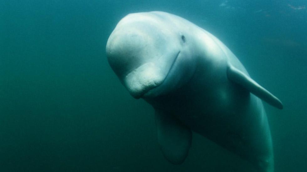 St Lawrence beluga (Nick Caloyianis, National Geographic Creative   WWF-Canada)