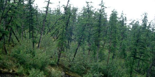 Drunken forest, the effect of supporting permafrost melting (Jon Ranson, NASA Science blog, Wikimedia Commons)