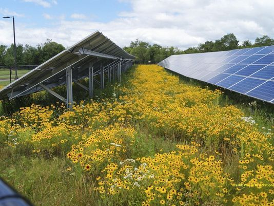 Solar array in Ramsey, Minnesota seeded with a pollinator habitat by Prairie Restorations, Inc (Photo: Courtesy of PRI)