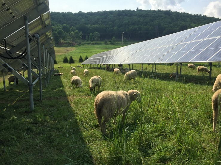 Happy sheep lunching under the solar panels. Photos courtesy of Norwich Solar Technologies.