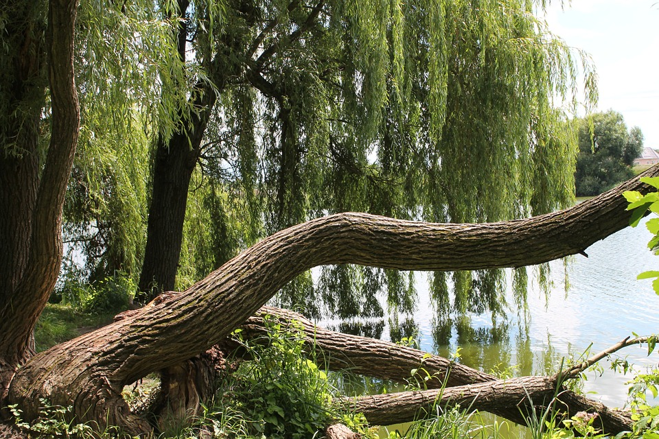 The inner bark of the white willow was used for pain relief long before aspirin. Image: Pixaby.com.