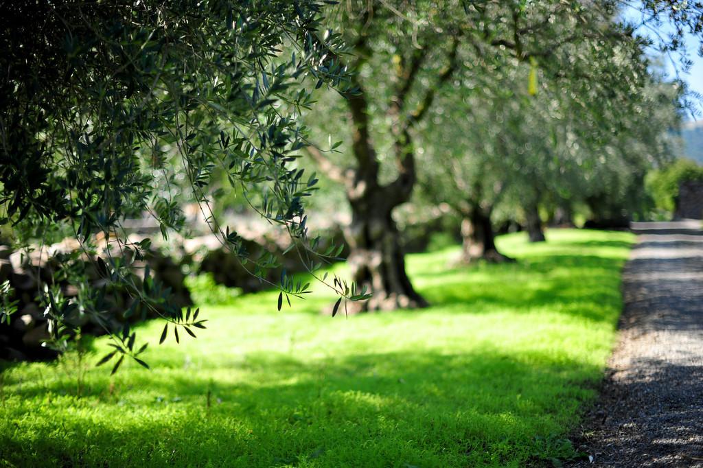 Olive trees at Stone Edge Farm