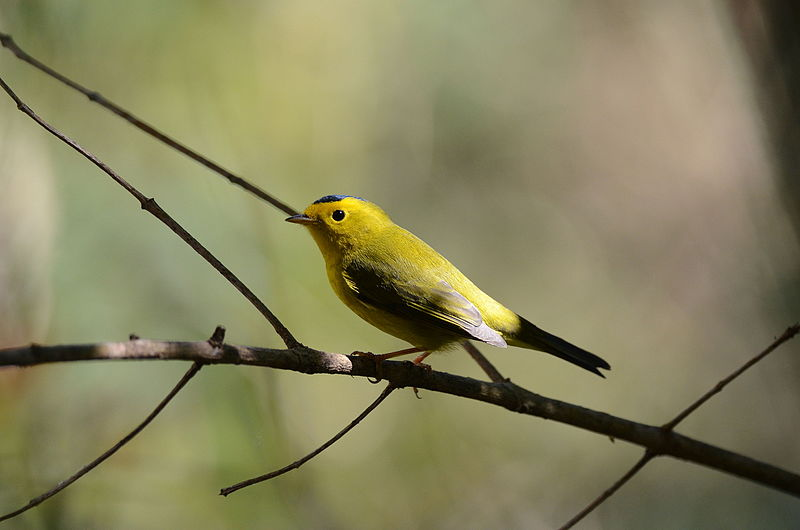 Wilson's warbler (Photo: Amado Demesa, Wikimedia Commons)