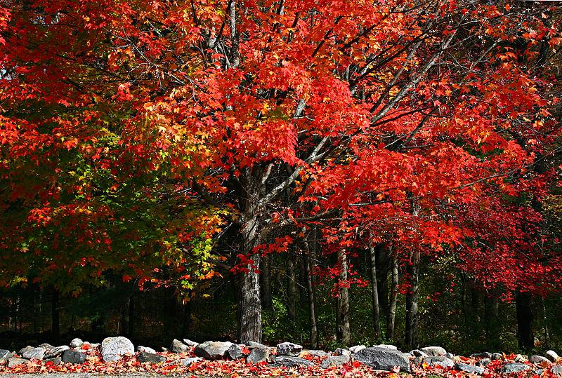 Sugar maples, threatened (Photo: Muffet, Wikimedia Commons)
