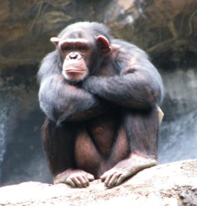 Chimpanzee. Image: Flickr