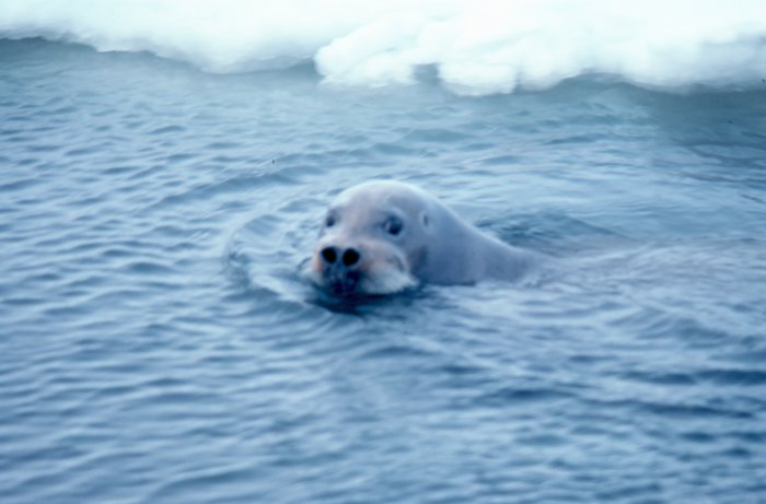 Bearded seal in the Bering Sea (NOAA image)