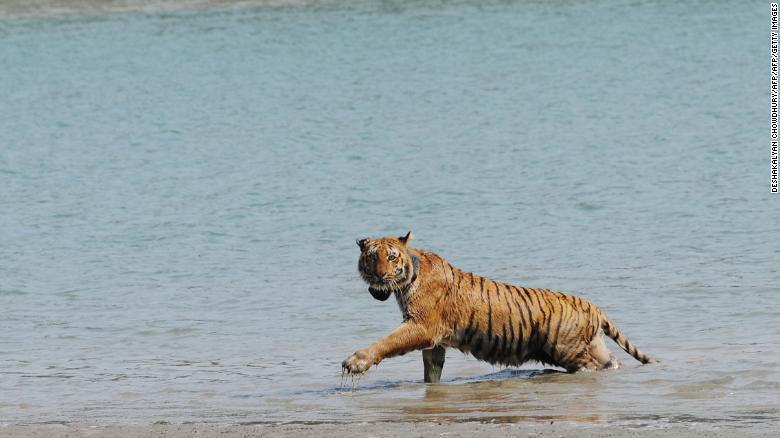 Indian tigress wearing a radio collar