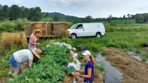 "Volunteers ""gleaning"" at local farms for Comfort Food Community"